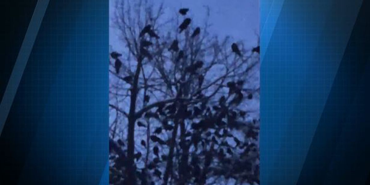Video shows crows now roosting in different parts of Watertown