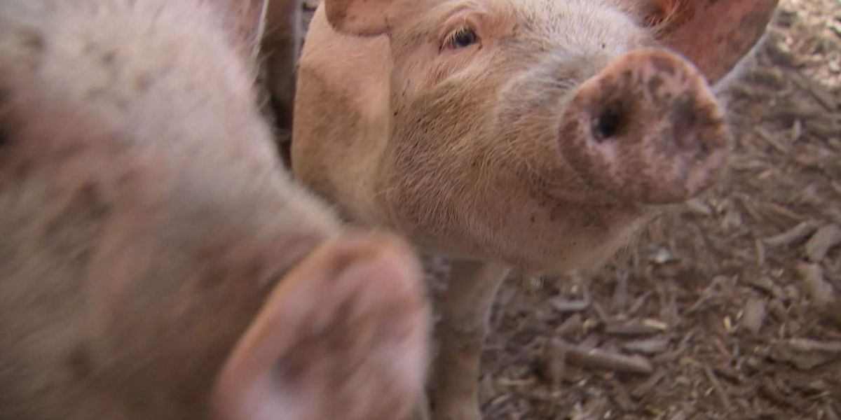 FDA approves genetically engineered pigs for medical and food use