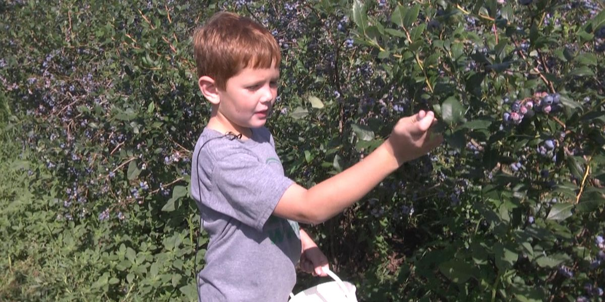Summer's sweets: picking blueberries in NNY