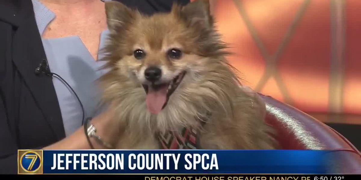 SPCA: Ozzie & microchipping