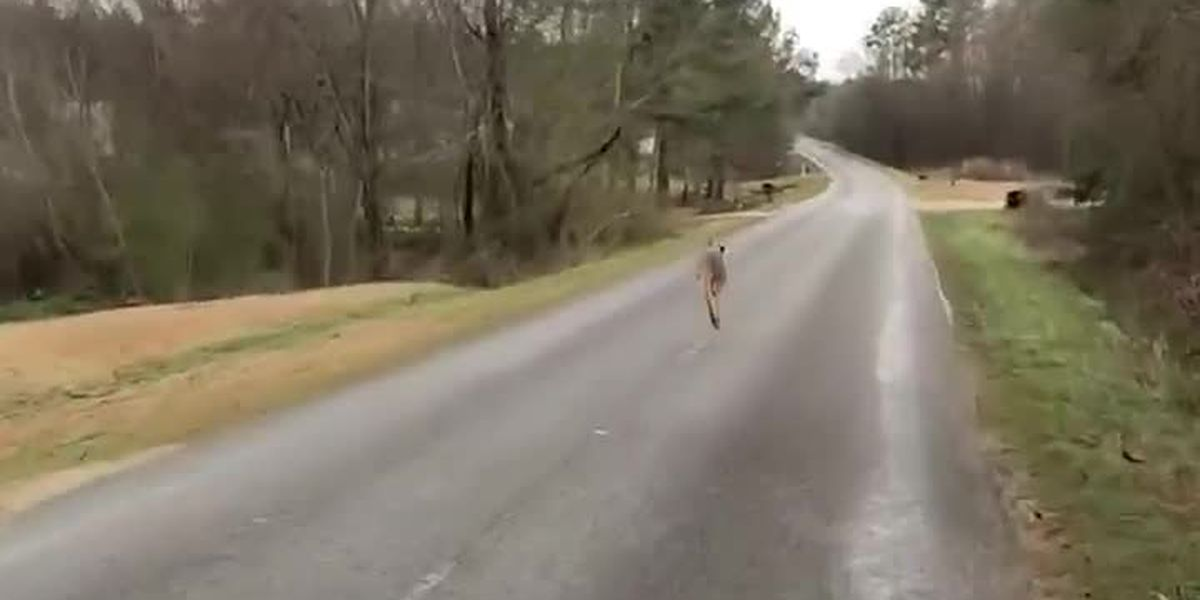 Kangaroo on the loose in Winfield