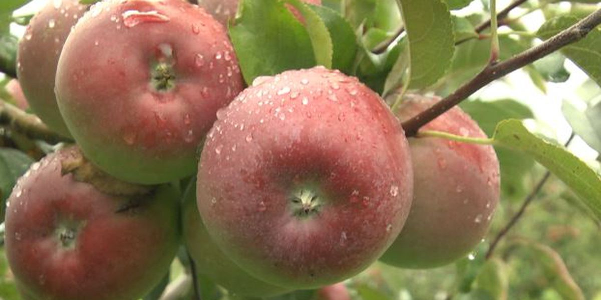 It's apple season in the north country