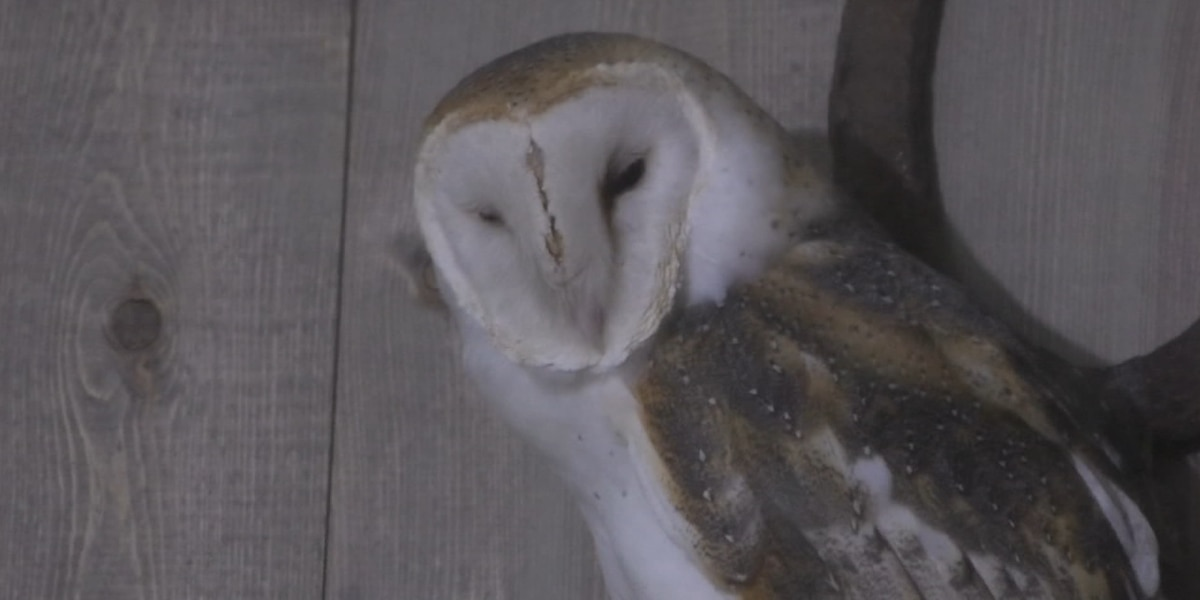 Wol the Barn Owl gets a new habitat at Zoo New York