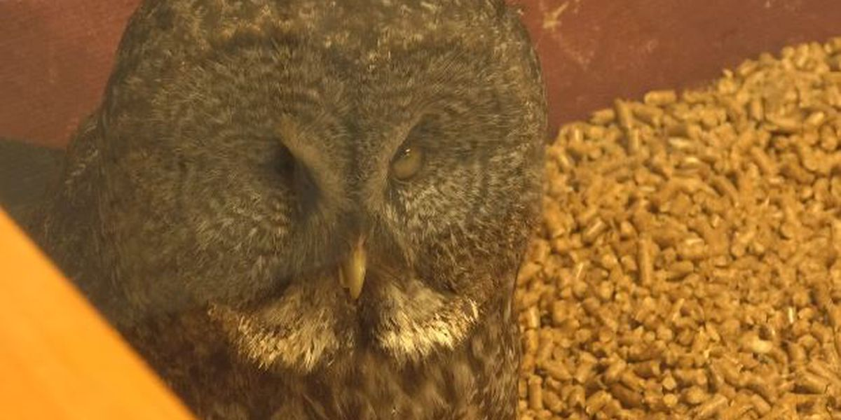 Owl's injury leads to creation of new animal wellness fund at Watertown zoo