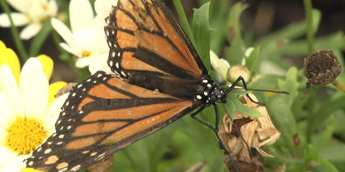 Watertown's zoo tracks and releases butterflies