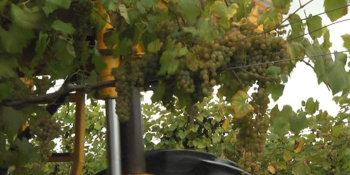 North country grape harvest finally arrives!