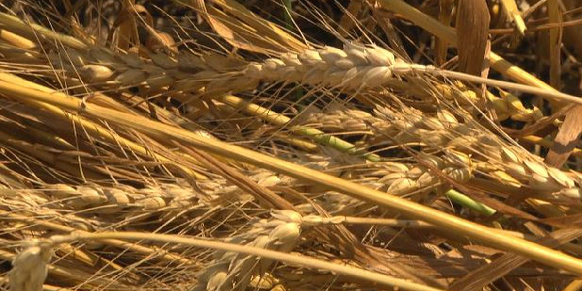 Local farmers' wheat crop thrives while others don't