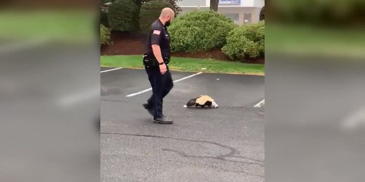 Massachusetts officer frees skunk from container