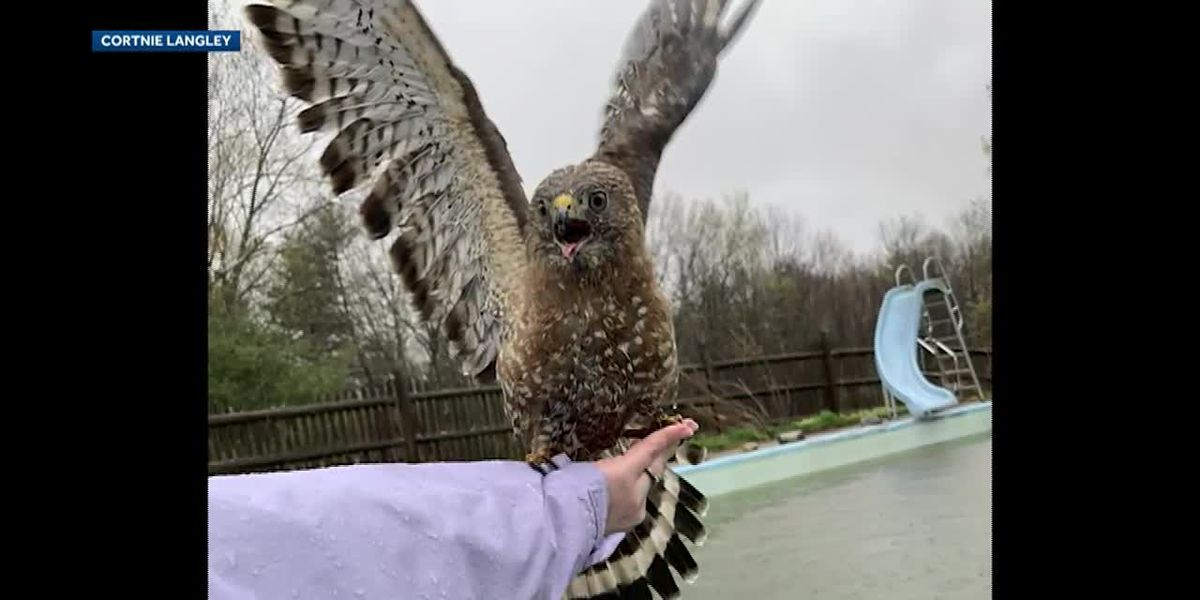 Hawk perches on woman's arm after she saved it from drowning