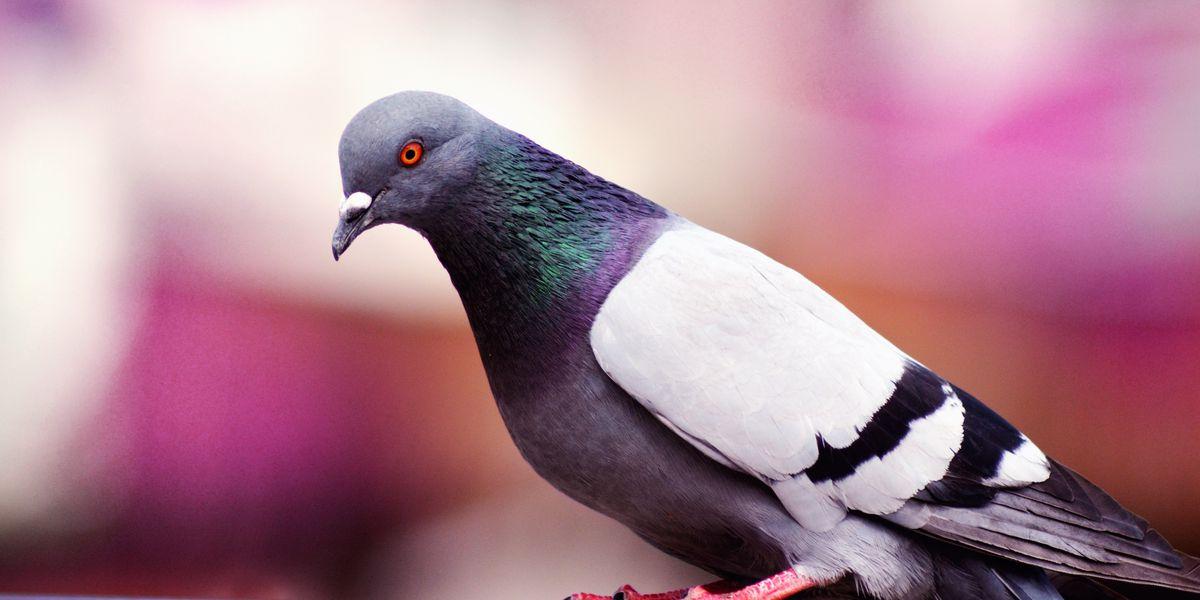 Pigeon poops on lawmaker discussing pigeon poop problem