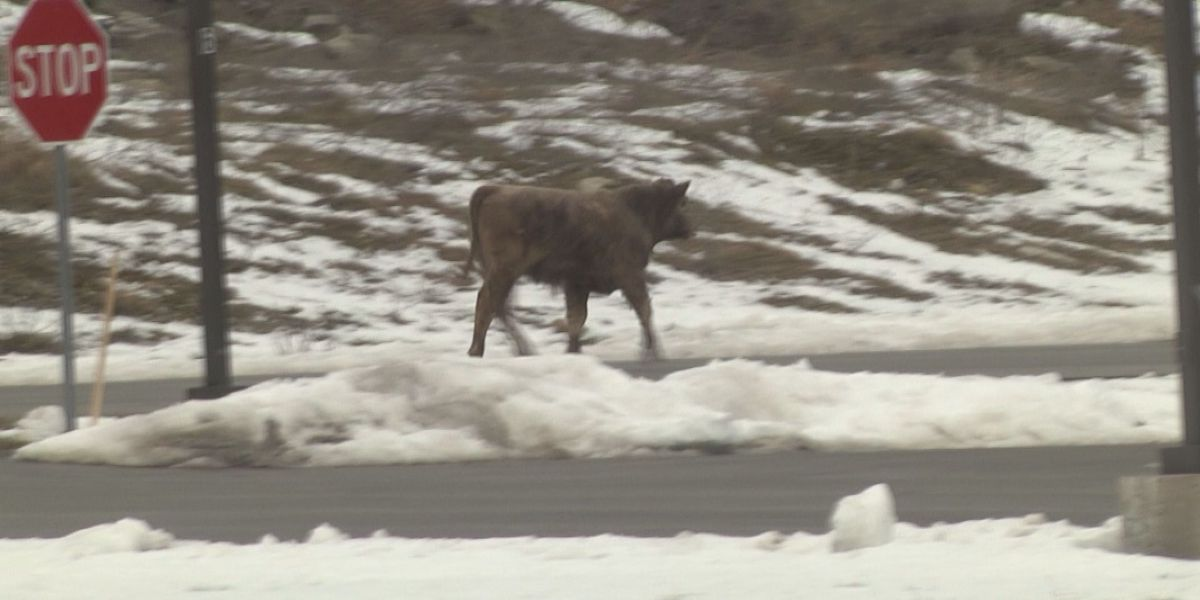 Woah, baby! Bull goes for a stroll in Town of LeRay