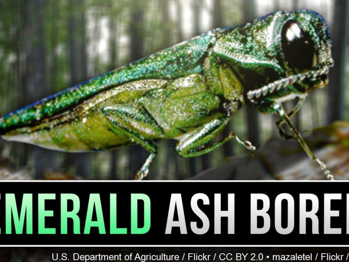Cornell Cooperative Extension: treat trees against the Emerald Ash-borer